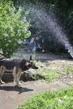 a dog who is taking a shower royalty free stock photo