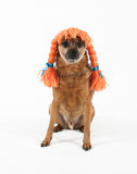 Dog wig Royalty Free Stock Photography