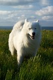 Dog on the wind. White dog on the wind at the seaside Royalty Free Stock Photography