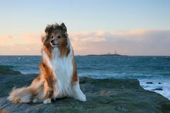 Dog in the Wind. Shetland Sheepdog in windy weather by the ocean (North Sea, Sele, Norway Royalty Free Stock Photo