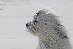 Dog in the wind. A dog keeps his face is covered with snow clumps in the cold blustery wind Stock Photos