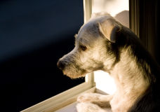 Dog in window. Jack russel terrier looking out the window lonely Stock Photography