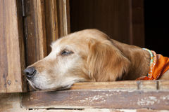 Dog in the window Stock Photography