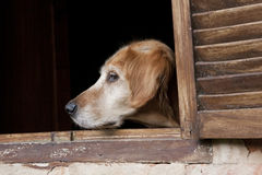 Dog in the window Royalty Free Stock Images