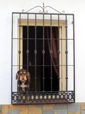 Dog in window with Mediterranean bars. Dog in window sill with mediterranean tiles and bars Stock Photography