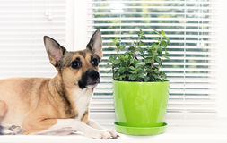Dog on the window sill Royalty Free Stock Photo