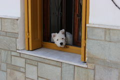 Dog in the window. Small white dog waiting on his owners return Stock Photography