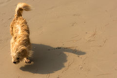 Dog on windy beach. A small hairy dog struggling to walk along a wind swept beach Stock Images