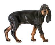 Dog winking Stock Photo