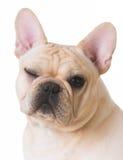 Dog winking Stock Photography