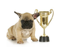 Dog winning Royalty Free Stock Images