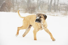 Dog in winter Royalty Free Stock Photo