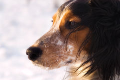Dog in winter. Dog overlooking landscape in winter Stock Images