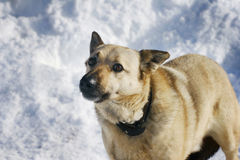 Dog in winter. On snow Royalty Free Stock Photos