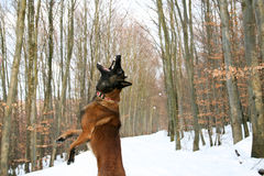 A dog in winter. A Belgian shepherd jumping to catch a snowball Stock Images
