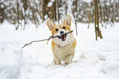 Dog winter carries a stick stock photos