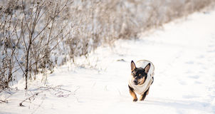 Dog in winter with clothes Stock Photography