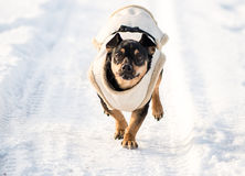 Dog in winter with clothes Royalty Free Stock Photo
