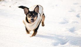 Dog in winter with clothes royalty free stock photos
