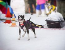The dog in the winter competitions Weight pulling.