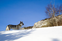 Dog in winter forest Royalty Free Stock Image