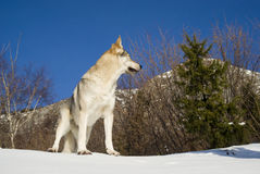 Dog in winter forest Royalty Free Stock Photos