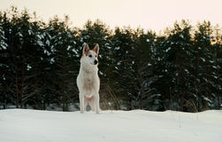 Dog in winter forest. Royalty Free Stock Photos
