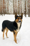 Dog on winter forest Royalty Free Stock Photo