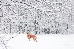 Dog in winter forest Stock Photos