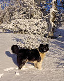 Dog in winter forest. The black dog in the winter forest Stock Photography