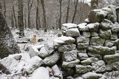 Dog In Winter Forest Kent Royalty Free Stock Photos