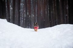Dog in the winter forest stock images