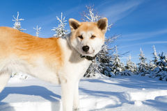 Dog on winter hiking in mountains Stock Image