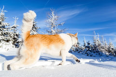 Dog on winter hiking in mountains Royalty Free Stock Images
