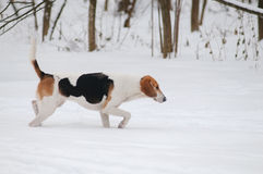 Dog on the winter hunt Royalty Free Stock Images