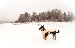 Dog in winter royalty free stock image