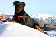 Dog in the winter mountains Stock Photo