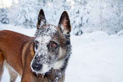 A dog in winter. A pretty Belgian shepherd standing in the snow Royalty Free Stock Image