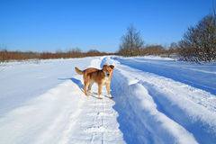Dog on winter road Stock Photo