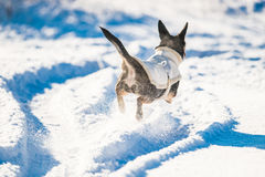 Dog in winter run. Dog in winter with clothes run in snow royalty free stock images
