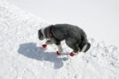 Dog in winter shoes on a walk Stock Image