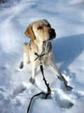 Dog in Winter snow Royalty Free Stock Photos