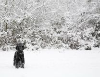Dog in winter snow Stock Photography