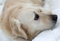 Dog in winter snow Royalty Free Stock Image