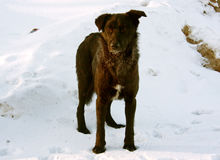 Dog in winter snow royalty free stock photography
