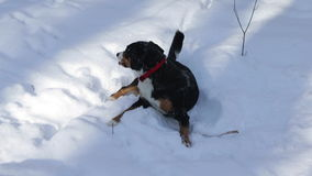 Dog in the Winter snow stock footage