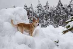 Dog among winter snowdrifts Royalty Free Stock Image