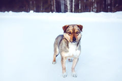 Dog on a winter walk. Stock Photos