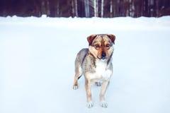 Dog on a winter walk. Stock Photos