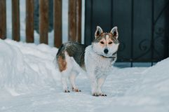 Dog in winter Royalty Free Stock Images